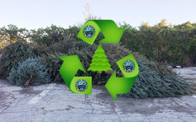 Christmas trees in lot after christmas for recycling. City of Boca Raton.