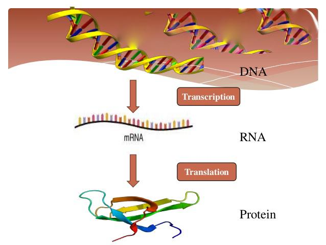 DNA-Translation-Creation-Certain-Evolution-Impossible.jpg