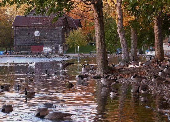 webster pond with geese