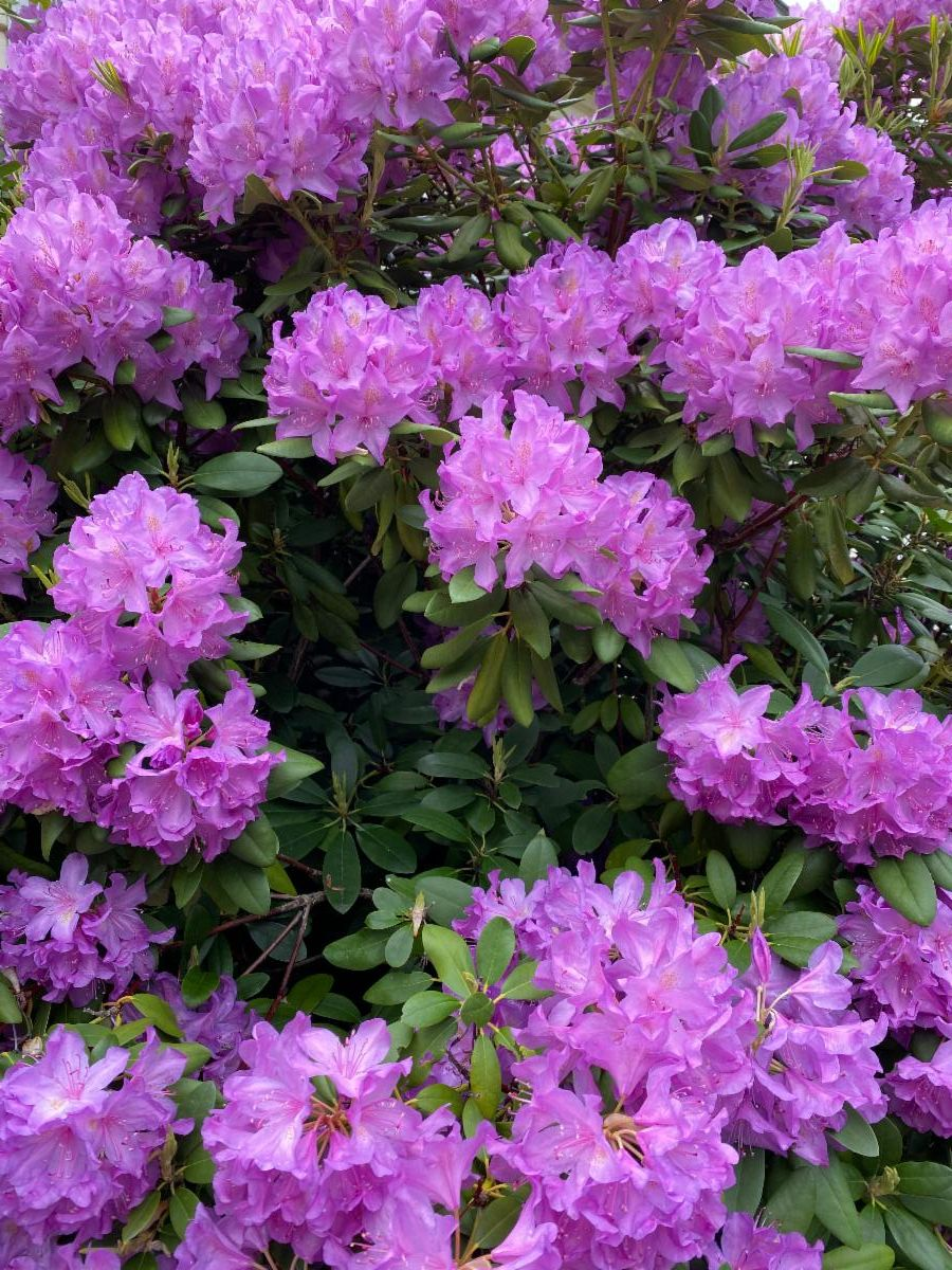 GPMA June 2020 Newsletter - image of rhododendrons