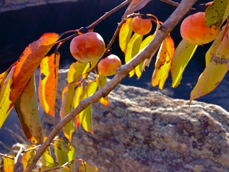 American Persimmon Tree with fruit