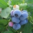 ripe blueberry cluster still attached to plant