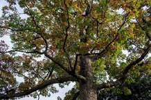 partial picture of white oak tree_ featuring some of the tree trunk_ branches_ and green leaves