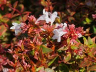 green foliage leaves with hues of red in leaves and stems_ bush type of shape_ small white flowers bloom throughout the foliage