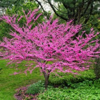 Eastern Redbud tree in bloom with bright pink flowers