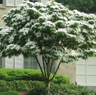dogwood tree in bloom with white flowers