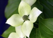 close up of dogwood flower