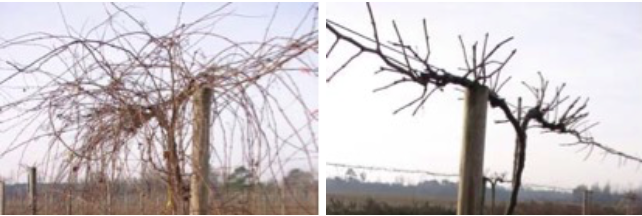pictures of winter grape vines in fields