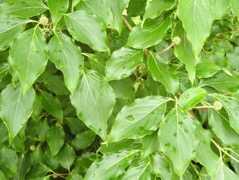 green leaves of dogwood