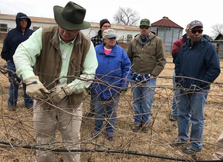 Bill Cline pruning winter grapevine
