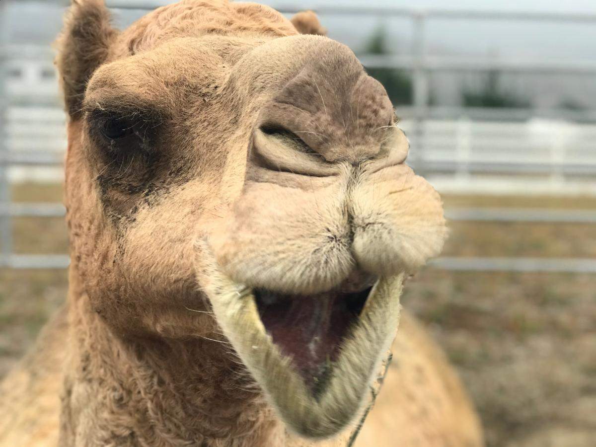 Willy the Camel