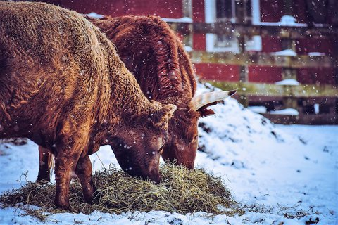 Pic of 2 brown cows outside in a brown-wood-fenced enclosure eating hay while it is snowing.