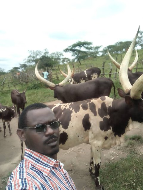 Picture of Ugandan man wearing sunglasses and a blue red and white checkered shirt standing in front of a herd of long-horned cattle