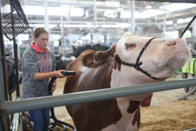 Teenage girl grooms cow at fair as cow stretches it neck with eyes closes