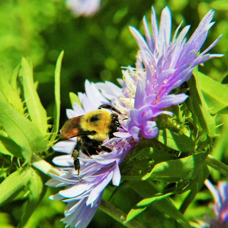 Bumblebee on Stokes aster a NC native plant