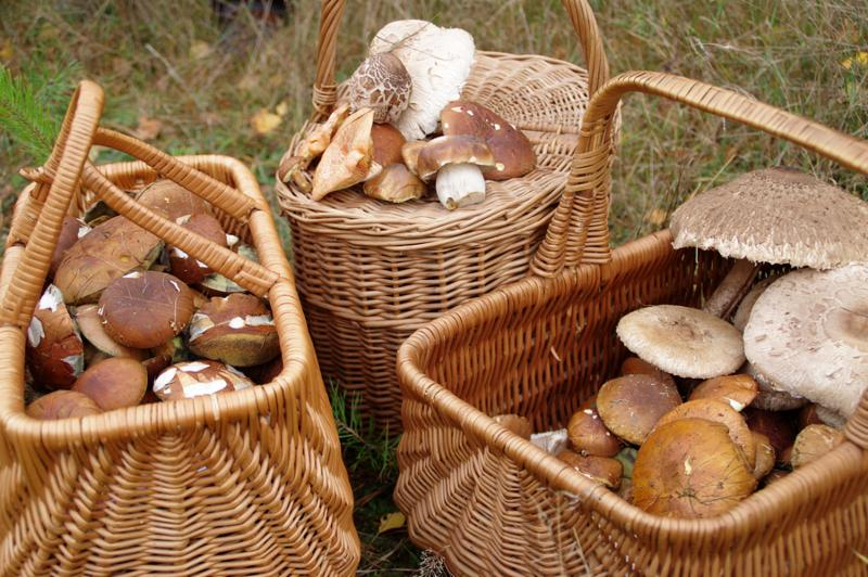 Baskets of edible mushrooms