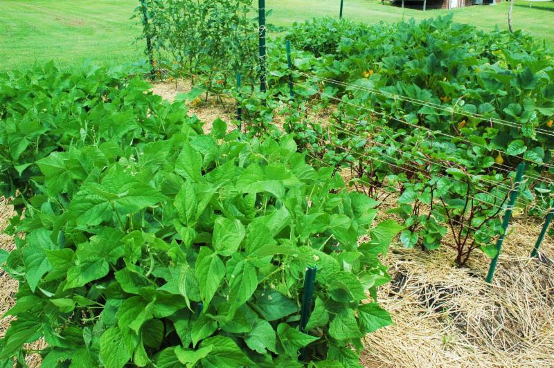 Garden with straw mulch around plants and trellising for tomatoes and Malabar spinach