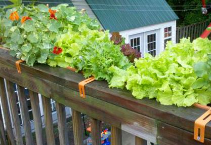 Window box with Nasturtium and Lettuce Photo by L Bradley CC BY-2.0