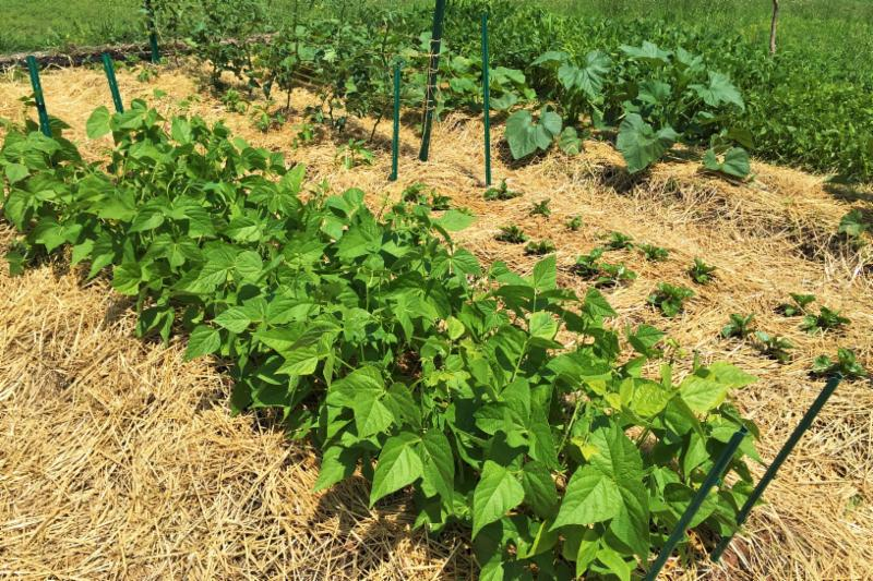 Garden with beans tomatoes Malabar spinach and squash plants surrounded by straw mulch covering the soil.