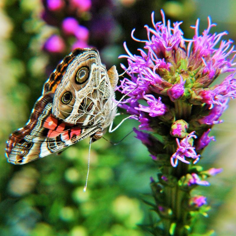 American Lady Butterfly on Blazing Star