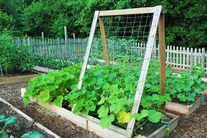 Squash growing up a trellis in the demonstration gardens at N.C. Cooperative Extension in Forsyth County