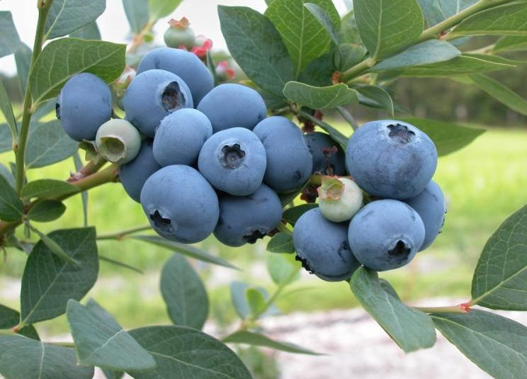 Cluster of blueberries growing on a bush