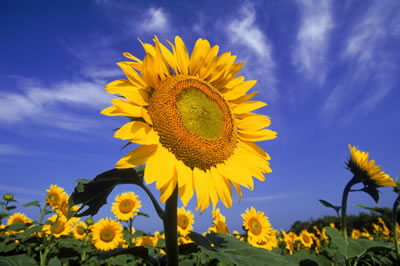 sunflower-2.jpg
