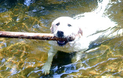 dog in water with stick