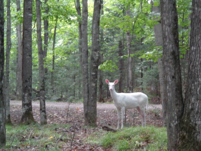 albino deer in woods