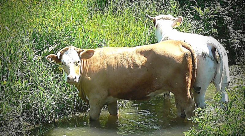 Cattle Grazing in Water