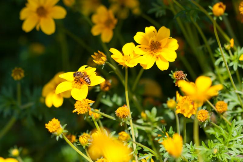 bee_on_yellow_flower.jpg