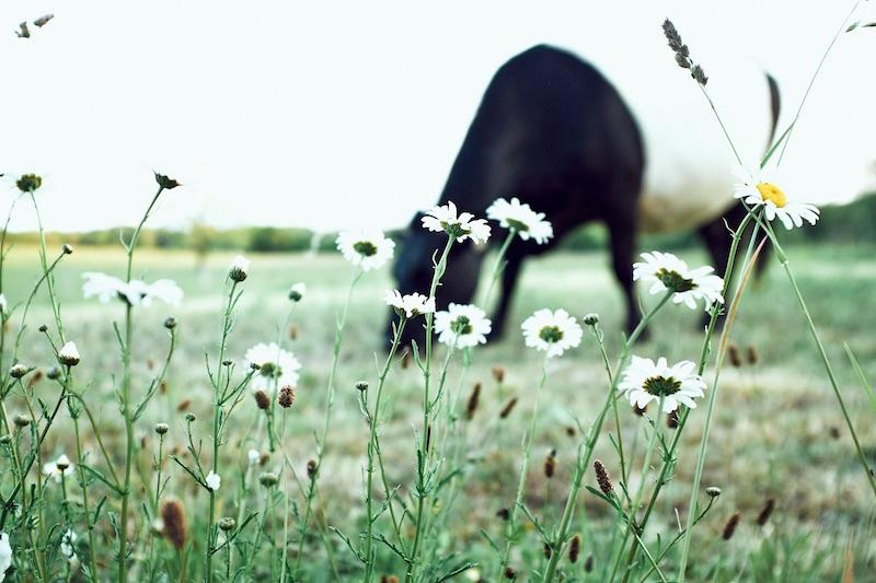 A cow grazes among daisies at the Grey Barn and Farm.