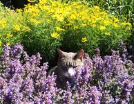 catmint and coreopsis