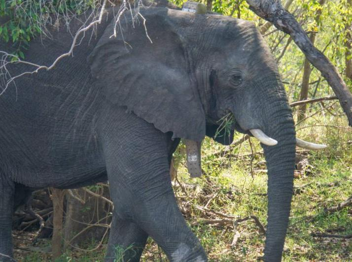 Elephant collared for human-wildlife conflict study