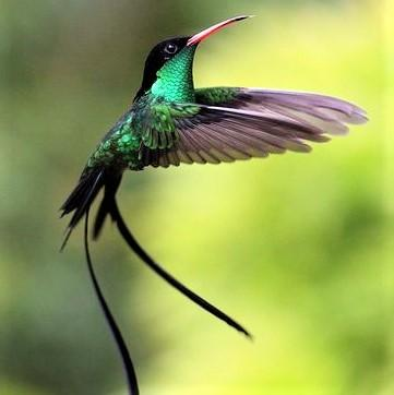 jamaican streamer-tailed hummingbird_ pinterest.com