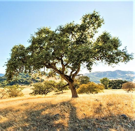 calif oak tree_ marinmagazine.com
