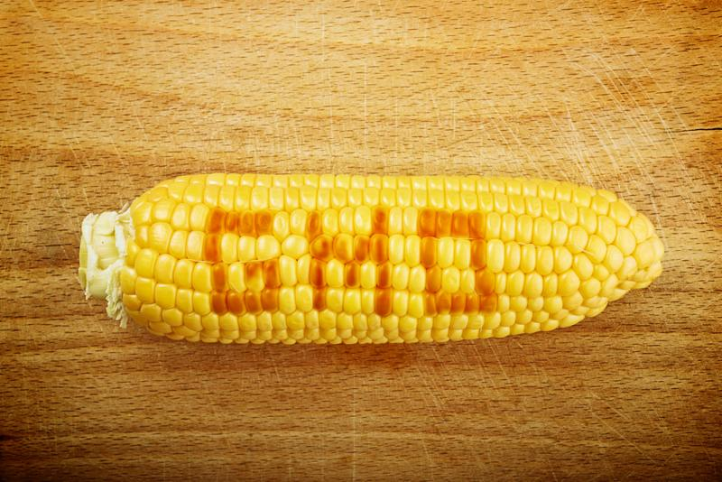Beautiful fully developed GMO Corn Maize Cob with golden seed on wooden backgrpund