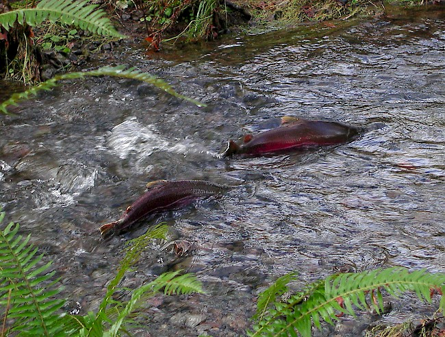 Coho Salmon Spawning. Photo by Oregon Department of Forestry.