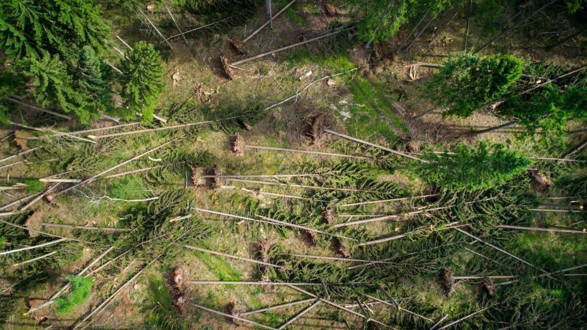 Aerial view of pine trees flattened by a storm