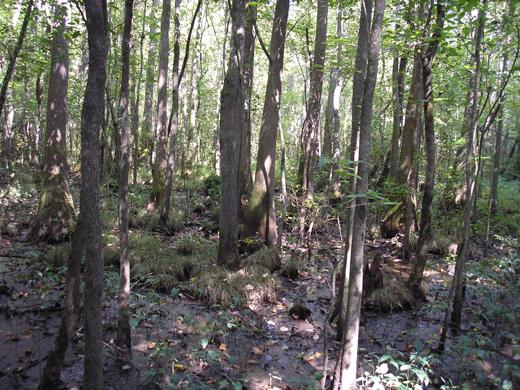 Coastal Plain Bottomland Hardwood Forest