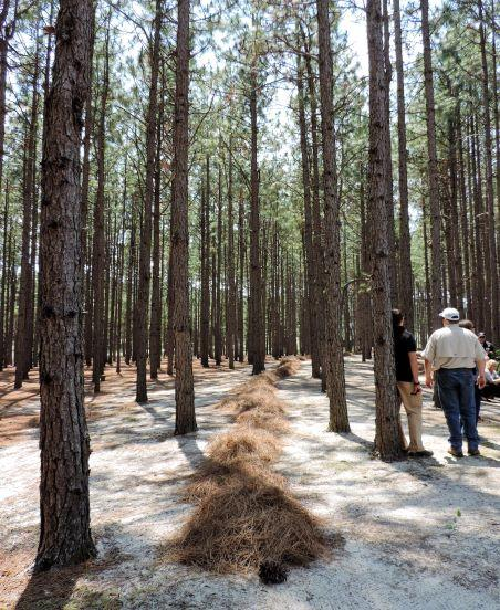 pine straw ready for harvest