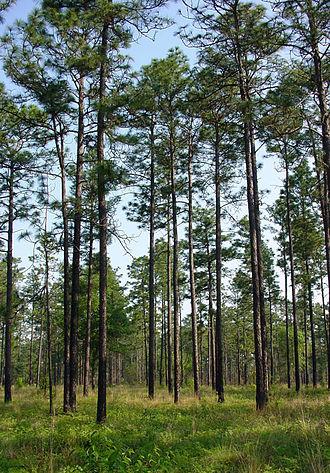 Pinus palustris by Chuck Bargeron, University of Georgia