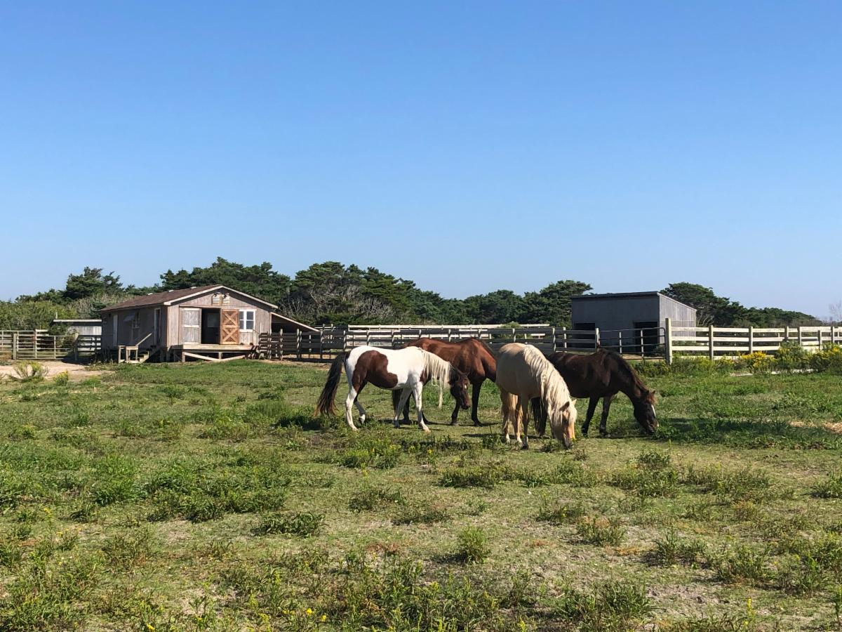Four Ocracoke ponies on October 8 2020.