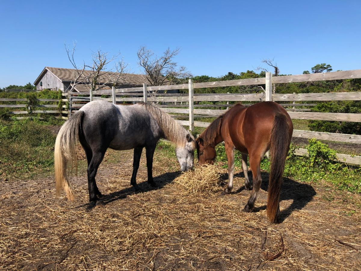 Two Ocracoke ponies on October 8 2020.