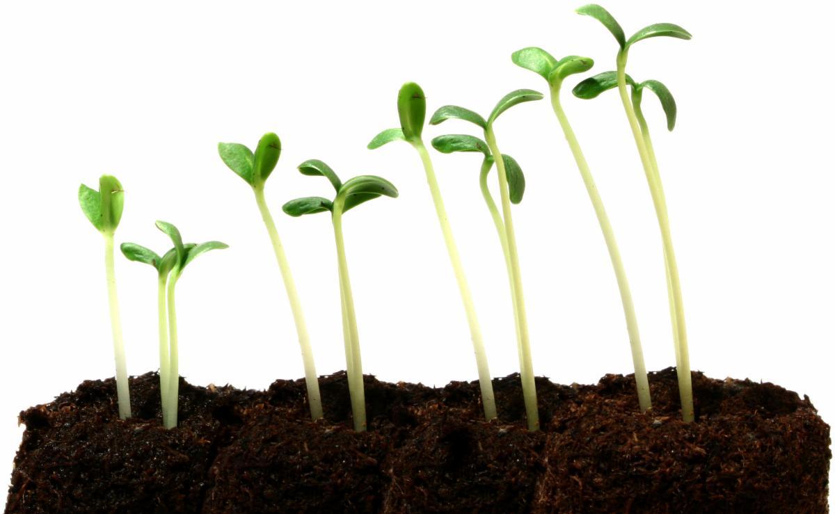 seedlings growing.jpg