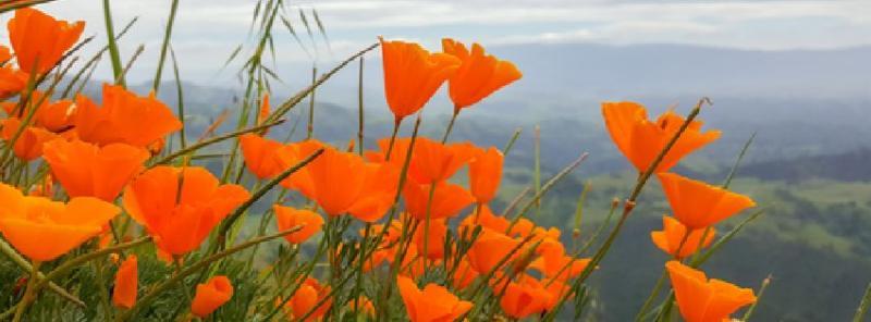 California Poppies_ Figueroa Mountain_ California