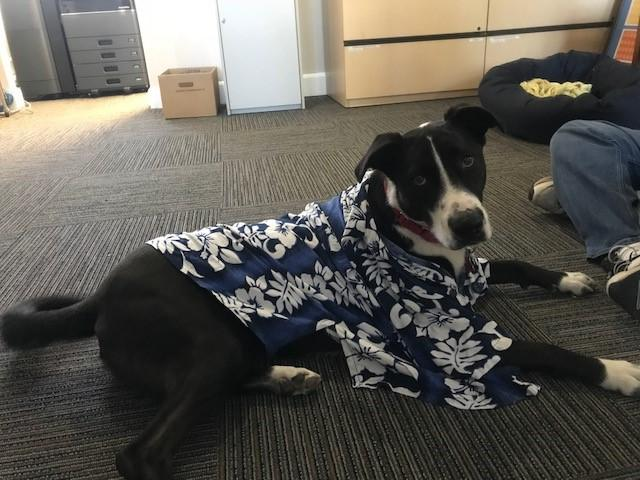 Lucy laying on the carpet wearing a blue and white flower Hawaiian shirt.