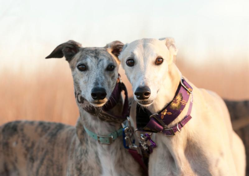 2 greyhound dogs with large collars around their necks
