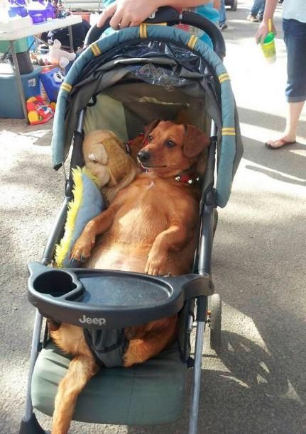 Fat brown Dachsund dog in a baby stroller