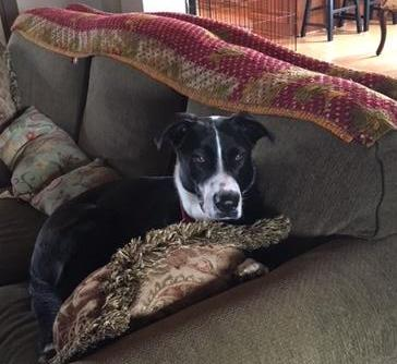 Lucy the dog sitting on a couch with her head on a pillow.